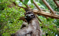 As preguiças-de-três-dedos fêmeas têm as costas acinzentadas, diferente dos machos que costumam ser identificados pela mancha alaranjada. A espécie consegue percorrer uma distância de 4,5 metros por minuto.