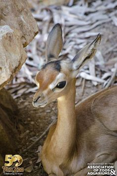 Gerenuk are a type of antelope found native to Africa. Such a sweet face.
