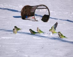 How Do the Quaker Parrots Survive in New York City?