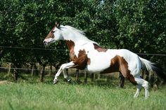 Paint Horse stallion SK War Leo Jac