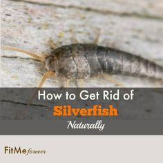 Silverfish are slivery bristletail insects that live in buildings and feed on starchy materials. These fairly harmless, serpentine creatures aren't pleasant to have around the house. Cause of silverfish could be moisture, food, dark and temperature. So find out here how to get rid of silverfish naturally