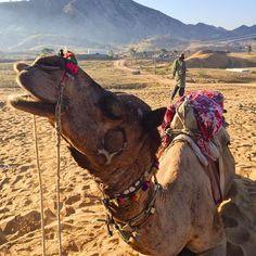 Happy Hump Day from Pushkar, India!  🐪🐪🐪  #desert #sunrise #pushkar #india #humpday #happyhumpday #camel #crueltyfree #travel #girlswhotravel #girlboss