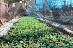 Baby yerba mate plants begin their journey towards the heavens at our reserve in Argentina.