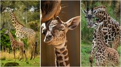 Celebrating Mother Day's with Masai Giraffe Moms and Babies at Disney's Animal Kingdom Happy Mother S Day, Happy Mothers, Masai Giraffe, All Disney Parks, Vulnerable Species, Baby Animals Super Cute, Funny Animals, Cute Animals, Animal Quotes