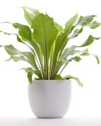 Houseplants care guide for birds nest fern. Care advice and tips to keep your indoor potted birds nest fern house plants green and growing Indoor Plants Low Light, Outdoor Plants, Outdoor Gardens, Plants Indoor, Indoor Garden, Garden Plants, Sun Plants, Container Gardening, Gardening Tips