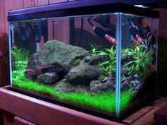 planted ten gallon tank | freshwater reef' 'tiger in my tank' 'In a silent way' 'close ...