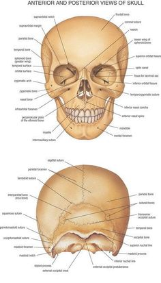 06 Anterior And Posterior Views Of Skull Anatomy Map 14 Poster Human Skull Anatomy, Skeleton Anatomy, Human Anatomy And Physiology, Cranial Anatomy, Anatomy Bones, Head Anatomy, Anatomy Study, Radiologic Technology, Facial Bones