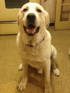 Cody is a 7 year old Pyr/Lab mix. At 130 lbs he is definetely an XL size.Cody is good with other dogs, cats and kids. He has excellent house manners and is potty trained. Cody stays loose in the house while his foster Mom is at work and everything...