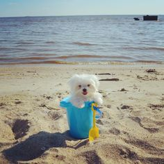 """""""Day 7: ☀️ BEACH DAY Wheelie dogs enjoy a nice sunny day and putting their paws in the sand too! Even if the Sun is Really Bright! ☀️☀️☀️☀️ I'm helping…"""""""