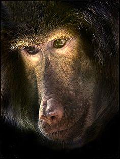 Photo Contest Finalist - Pensive primate at the St. Louis Zoo.  Keith Jochim
