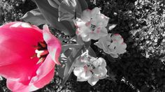 """Dreamland & ""Cartouche"" Tulips 5-7-13 with camera filter."