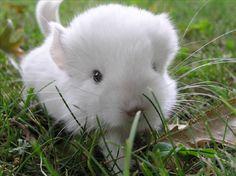 Baby White Chinchilla