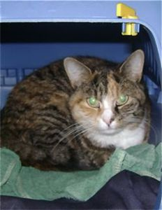 Pretty Angelica Is A Bit Distressed In Care She Likes Adults And Older Children Cat Adoption Saving Cat Cats