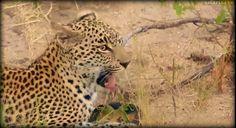 Beautiful Xongile finds a terrapin snack onj #safarilive 4-3-17