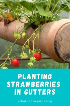 Planting Strawberries in Gutters In today's video, we look at our DIY Strawberry Gutter System. Strawberry Plants, Fruit Plants, Coir, Planting, Strawberries, Gardening Tips, Worm Castings, Organic, Super Simple
