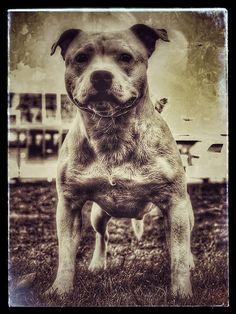 Carmielo Ephesus Black Bosphorus Bulls / Facebook Staffordshire Bull Terrier Coming soon 2 litter Carmielo contact private message Bosp…