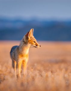 Kit Fox Pup by © Jason Sims