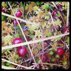 Jõhvikas mr. Karpalo, Cranbeyy Finland, Berries, Fruit, Nature, Food, Naturaleza, Essen, Bury, Meals
