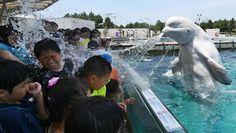 Ein Belugawal spritzt in dem japanischen Tierpark Hakkeijima Sea Paradise in Yokohama Besucher nass. Bei sommerlichen 34 Grad dürfte sich das Publikum aber nicht beschwert haben. - AFP