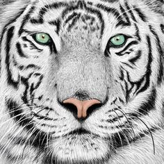 Looking for drawing project inspiration? Check out White Tiger by member Lisa Matheson.