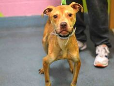 SUPER URGENT - 01/12/15 Brooklyn Center  CHAIN - A1025126 *** LEGAL HOLD 1/10/15 ***  MALE, TAN / WHITE, PIT BULL MIX, 2 yrs, 6 mos OWNER SUR - ONHOLDHERE, HOLD FOR LEGAL Reason NO TIME  Intake condition EXAM REQ Intake Date 01/10/2015, From NY 11208, DueOut Date 01/10/2015,  https://www.facebook.com/Urgentdeathrowdogs/photos/a.617942388218644.1073741870.152876678058553/943354669010746/?type=3&theater