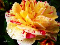 Candy Striped Rose Photography Print 9x12 by autumnraincreations, $18.00