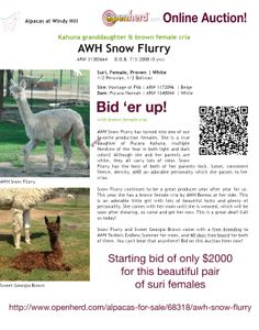 AWH Snow Flurry is for sale in our Online Auction. Take a look! http://www.openherd.com/alpacas-for-sale/68318/awh-snow-flurry