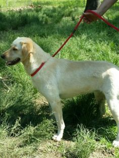 07/19/14 sl ~~Millie ~Yellow Labrador Retriever Mix • Adult • Female • Large Humane Society of Central Louisiana Pineville, LA