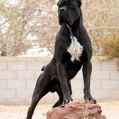 Check out this badass man's best friend. From About Time Cane Corsos DOUBLE TAP / TAG SOMEONE ♤ Follow our friends @boss.prestige @luxury worth billions @themodifiedcars ♤ #manstrav#menstuff#manlife#brosforlife #tagforlikes #mans #L4L #instafollow #justformen