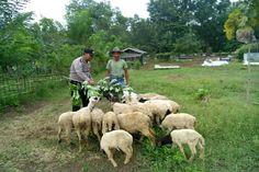 Sambil Memberi Makan Domba, Bhabinkamtibmas Polsek Cibatu Imbau Pengembala Waspadai Pencurian Hewan Ternak