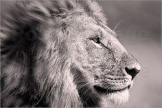 Mein Bestseller: Verkauft als großes Poster. Der Käufer hat Geschmack.     Ingo Gerlach - Der König der Löwen