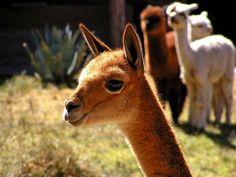 vicuna | Camels, Alpacas, Llamas | Pinterest