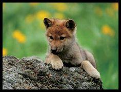 Gray Wolf Pup - pg.45  Controlla su http://www.zenoarte.com/stampe-poster-roma/ i formati in cui può essere stampata