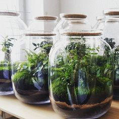Forest in the jars #capsulegardens #green #greenery #ferns #bonsai #ivy #moss #botanical #ecodesign #greenlife #garden #terrarium #interiordesign #indoorplants #greenhome #berlin #hh