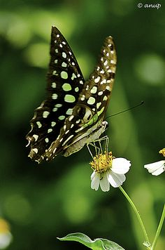 Tailed Jay (Graphium agamemnon) Butterfly (by anup PHOTOGRAPHY)