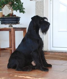 Ranked as one of the most popular dog breeds in the world, the Miniature Schnauzer is a cute little square faced furry coat. Black Schnauzer, Standard Schnauzer, Giant Schnauzer, Schnauzer Puppy, Big Dogs, I Love Dogs, Cute Dogs, Dogs And Puppies, Doggies