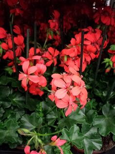 #Pelargonium Red #Geranium; Available at www.barendsen.nl