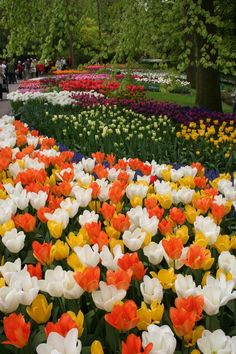 I might need some Syracuse orange tulips in my garden...and some Steffi pink and purple