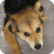 Smyrna, GA - Corgi Mix. Meet Chester a Dog for Adoption.