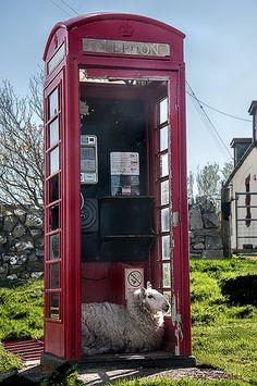 "♥ ~ ♥ Sheep ♥ ~ ♥ ""I'll be calling Ewe"" - Clashnessie, Assynt, Scotland Farm Animals, Cute Animals, Animal Fun, Telephone Booth, Sheep And Lamb, England And Scotland, English Countryside, British Isles, Great Britain"