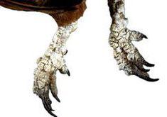 La gale des pattes : traitement