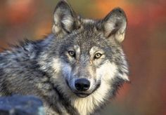 Wolf management debate reignited amid Washington state campaign to thin population