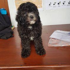 Dijual Anjing Poodle, Sale 2 Ekor Anjing Poodle, Lokasi: Malang, Minat Hub.: 081228886000,  No. Iklan: 1809, Informasi lebih detil silakan kunjungi iklan pada link di bawah ini. www.pettoto.com/sale-2-ekor-anjing-poodle-malang