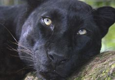 black leopard - Google 검색