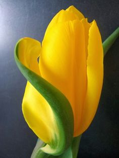 """#Tulipano come ottimo """"filtro"""" dell'#aria"""