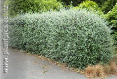 Just a quick post to share with you because i see people all too often struggling with creating nice hedges in their mediterranean garden. Hedging Plants, Garden Plants, Compost, Fast Growing Hedge, White Clematis, Garden Hedges, Pea Flower, Moon Garden, Mediterranean Garden