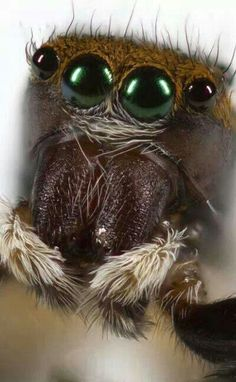they dont bite. they just jump from finger to finger. and watch you. they are my favorite arthropod. Spider Mites, Spider Webs, Cool Bugs, Jumping Spider, Fotografia Macro, Images Of Colours, Alien Creatures, Walk In The Woods, Look At You