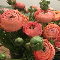 Peach/Coral Ranunculus