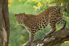 Fantastic leopard shot, by Shaaz Jung