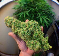 Greenbud's Cannabis (@philsdispensary) | Twitter